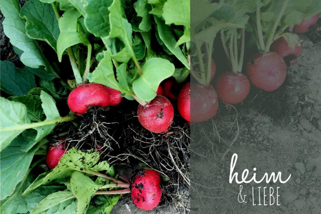 Radieschen als sehr einfaches Gemüse ideal für Anfänger